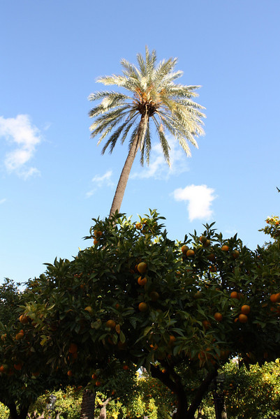 Palm trees and oranges in Cordoba, Spain