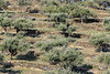 Olive trees and dry stone terraces #2, Catalonia, Spain