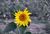 Sunflower, Catalonia, Spain