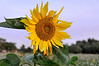 "Late day, late season sunflower, Catalonia, Spain<br /> <br /> A sunny touch for a dark rainy day.<br /> <br /> Other photos from Catalonia can be seen here: <a href=""http://goo.gl/JS5ljU"">http://goo.gl/JS5ljU</a><br /> <br /> 12/2/14  <a href=""http://www.allenfotowild.com"">http://www.allenfotowild.com</a>"