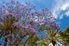 A park with a blue Jacaranda tree in bloom in Palma de Mallorca, Spain.
