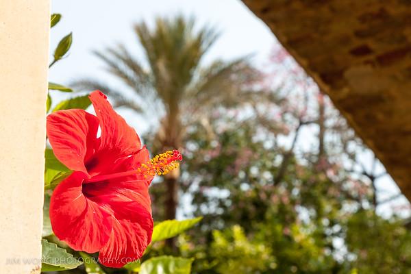 Hibiscus, Reales Alcázares, Seville