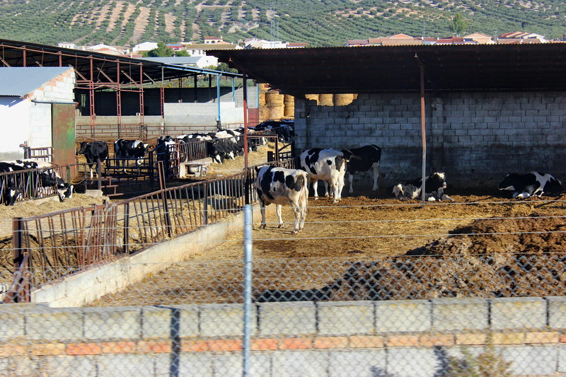 Cows at a Dairy Farm