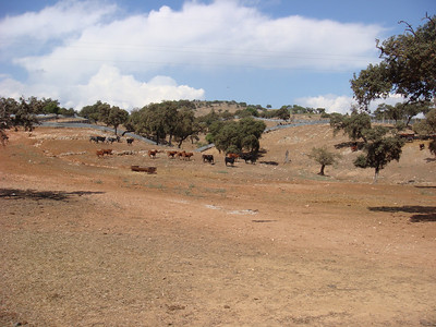 On Day 4 we visit a 'Ganaderia', or bull farm.  These are the 'Toros,' or bulls.