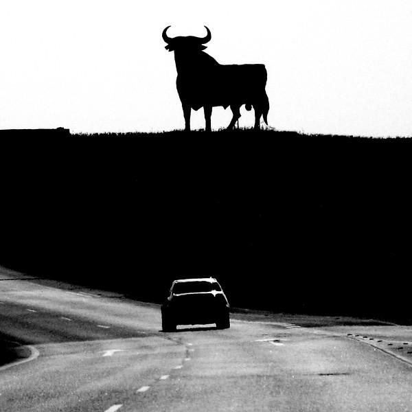 An Osbourne Bull on the Highway. 2011.