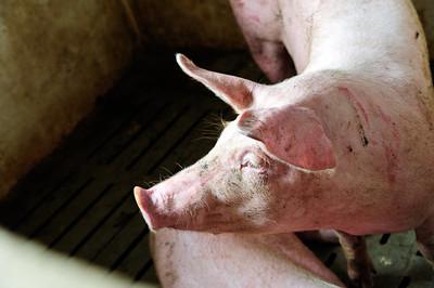 pigs-14