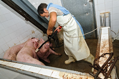 pigs-16