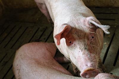 pigs-13