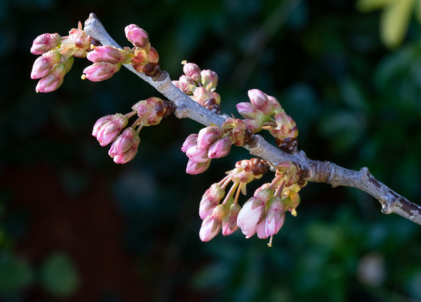 Blossom in early March 2019