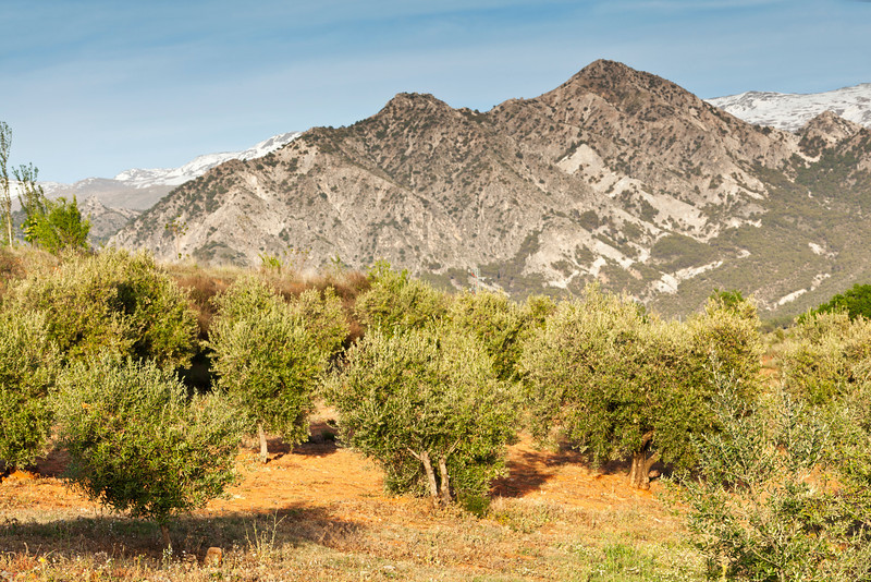 Olive Groves in the Sierra Nevada in Granada, Spain