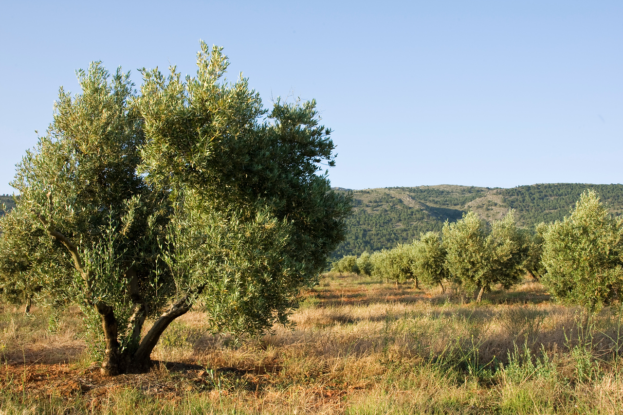 Olive Grove in Andalucia Spain