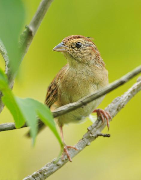 Bachman's Sparrow (Aimophila aestivalis)