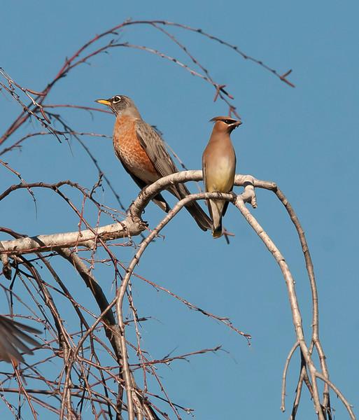 Robin and Cedar waxwing
