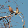Robin and Cedar waxwing