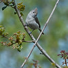 Oak titmouse<br /> March 25