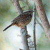 Song sparrow with leucistic feathering over the eye