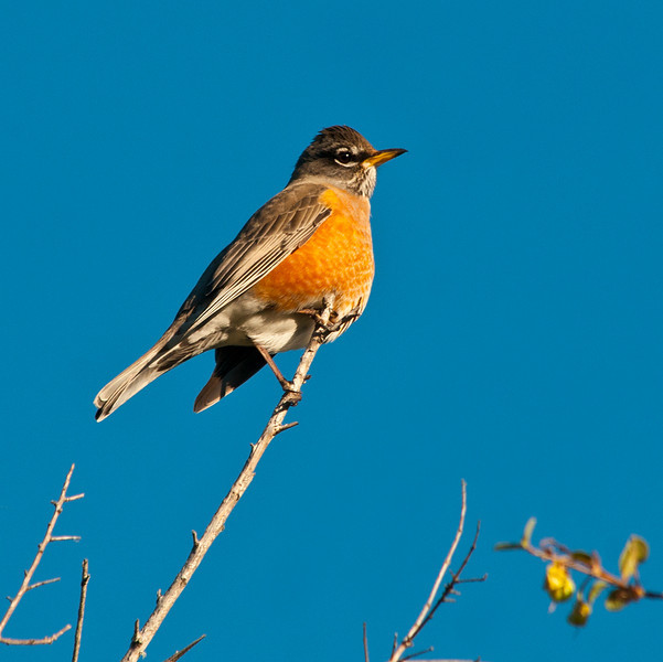American robin - Taken at our new home up the valley<br /> <br /> More robins in one place than I have ever seen. 1-16-2012