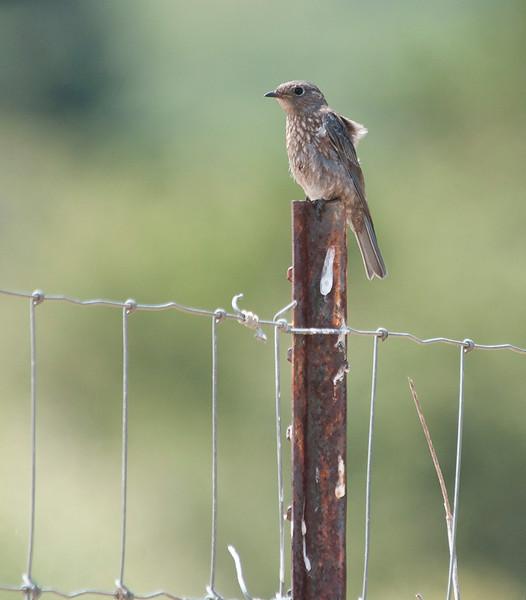 Western bluebird - fledgling