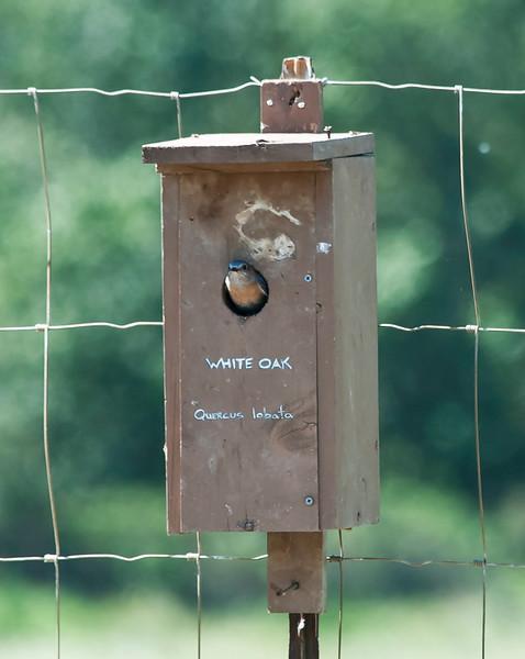 Western bluebird - female