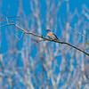 A study of the Western blue bird
