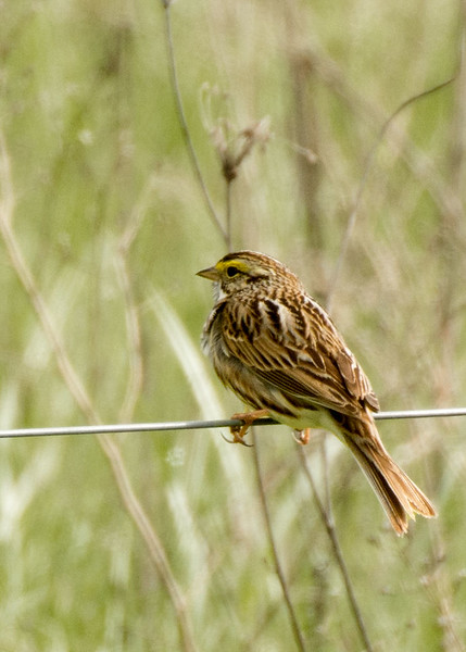 Savannah Sparrow, Ft. Edward, NY may 2017