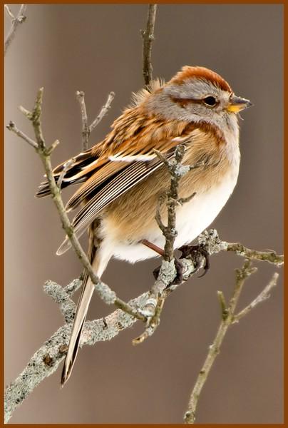 Tree Sparrow, Crescent Power Plant, Cohoes, NY 2-4-15