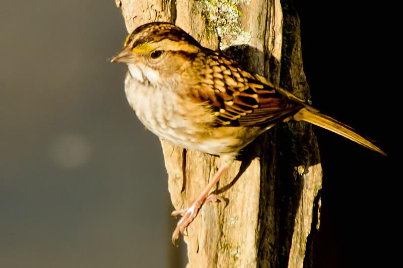 White-throated Sparrow<br /> Peebles Island, 10-10-13