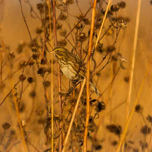 Savannah Sparrow in Illinois