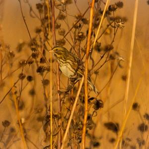 Savannah Sparrow in Illinois