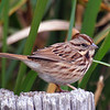 Song Sparrow Close Up