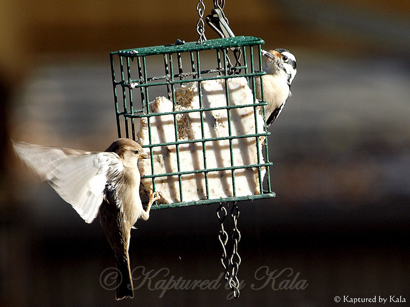 Fine Feathered Friends Sharing Suet