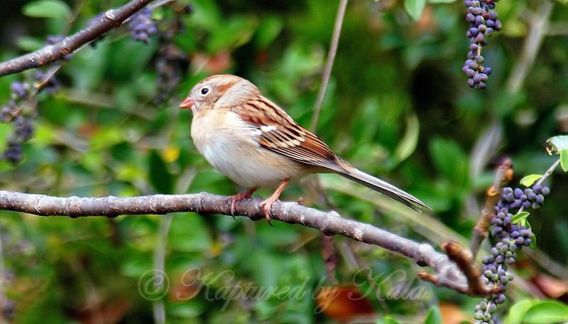 Field Sparrow & Privet Berries