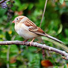Field Sparrow & Privet Berries