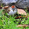 Beautiful Crown Of the Chipping Sparrow