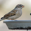Another Chipping Sparrow