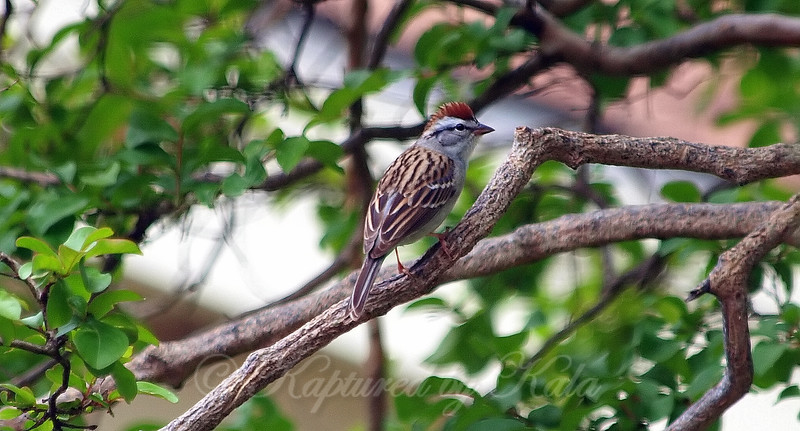 Chipping Sparrow's Rarely Seen Crest