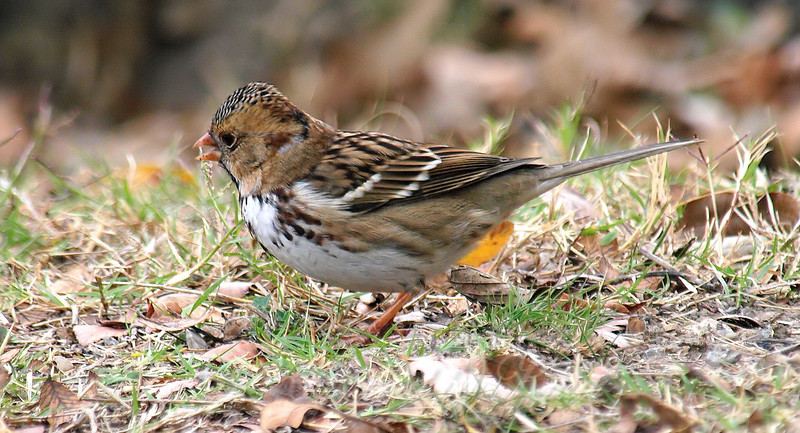 Another Harris's Sparrow