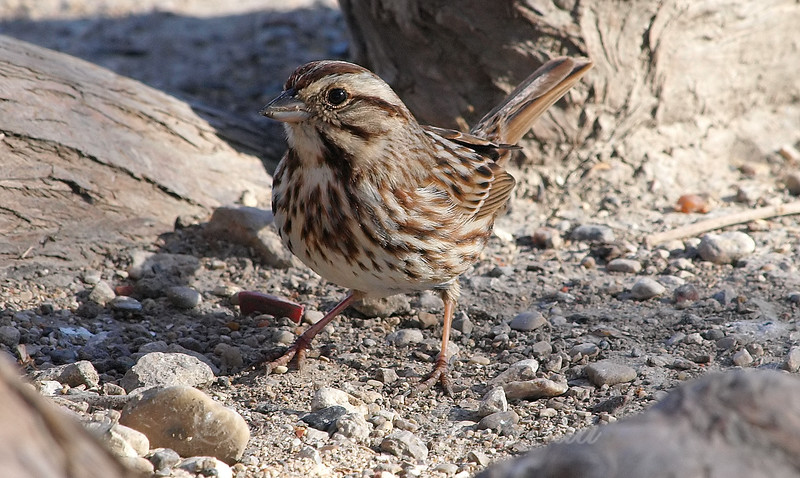 Song Sparrow On The Ground