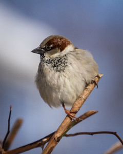 Male House Sparrow in Winter in Illinois