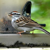 Chipping Sparrow View 1