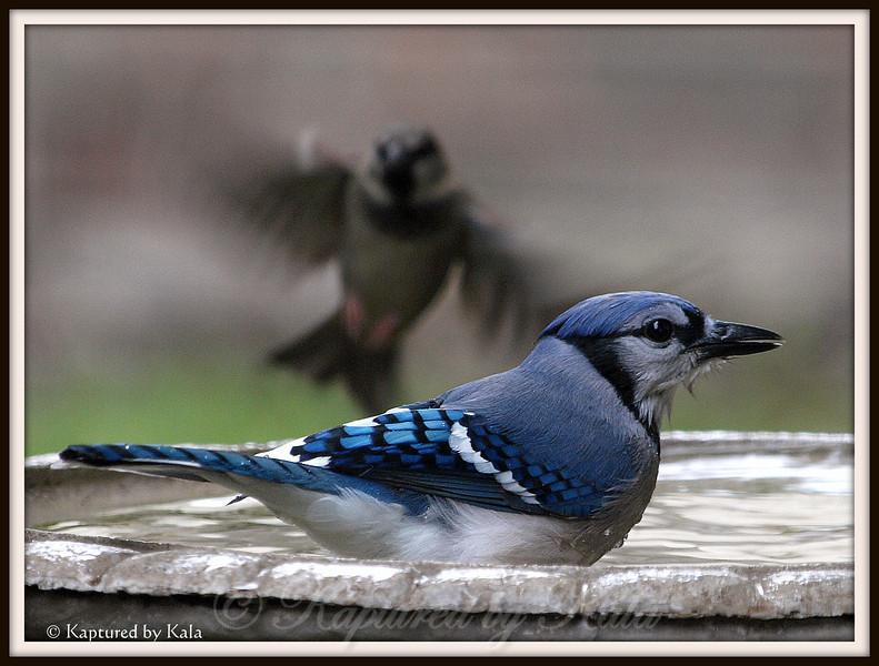 Blue Jay and Sparrow