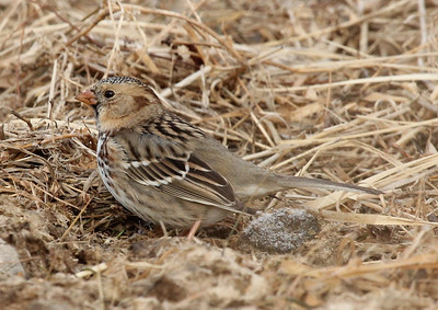 Harris's Sparrow near Moxee, WA