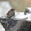 Chipping Sparrow At My Fountain