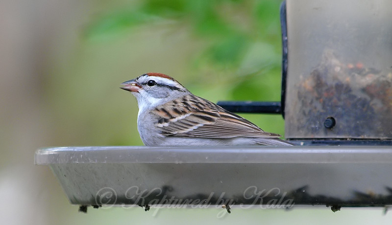 Chipping Sparrow View 2