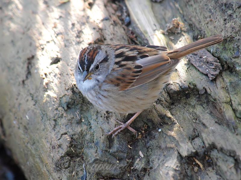 Swamp Sparrow View 2