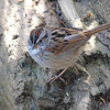 Swamp Sparrow View 2