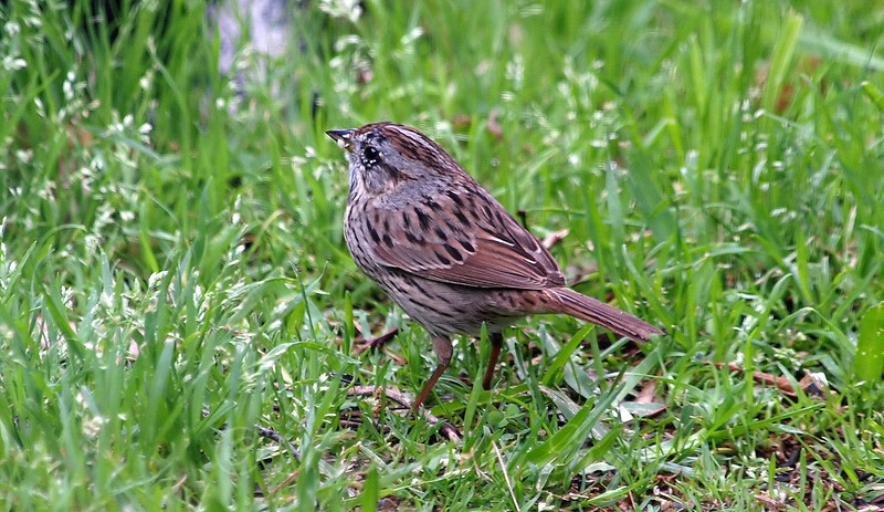 Lincoln's Sparrow View 1