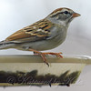 Chipping Sparrow Posing