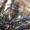 Chipping Sparrow In Non-Breeding Plumage