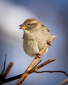 Female House Sparrow with Seed